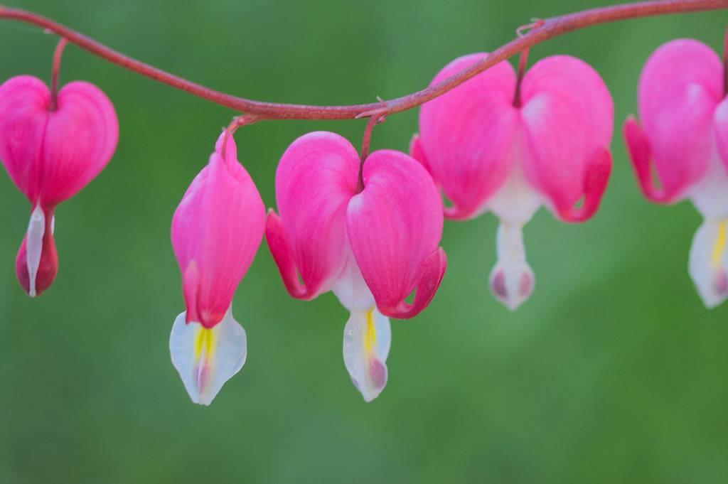 'Bleeding Hearts' by Annalise Timms